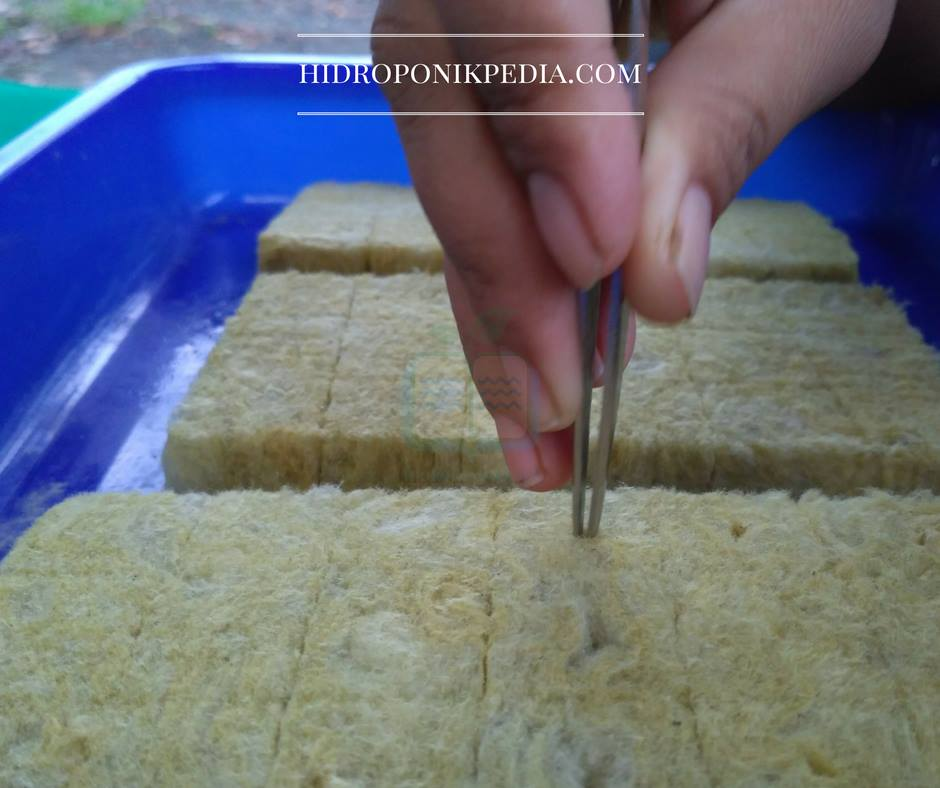 cara-menanam-selada-hidroponik-05