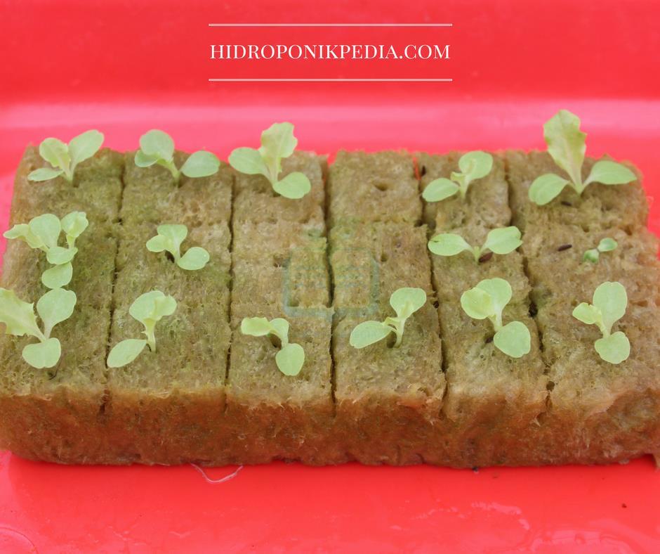 cara-menanam-selada-hidroponik-09