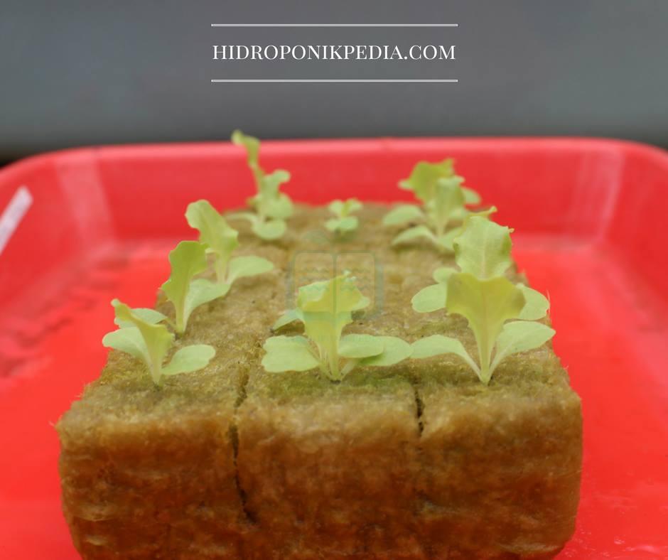 cara-menanam-selada-hidroponik-10