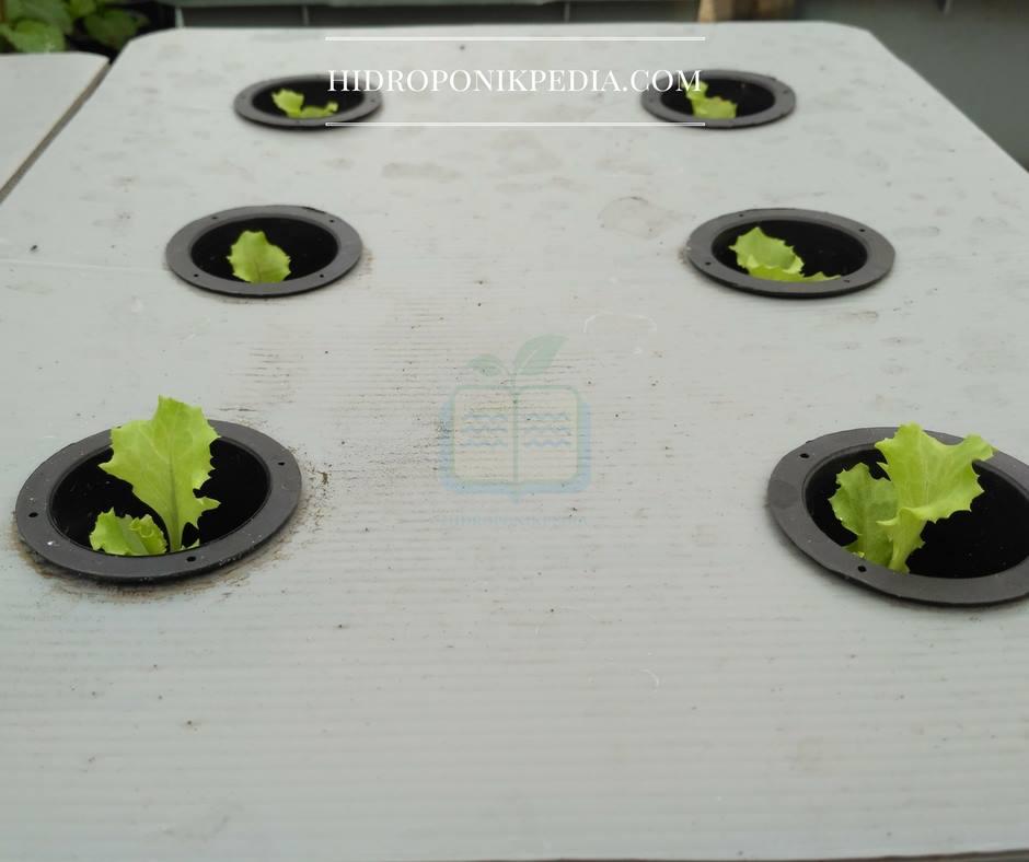 cara-menanam-selada-hidroponik-13