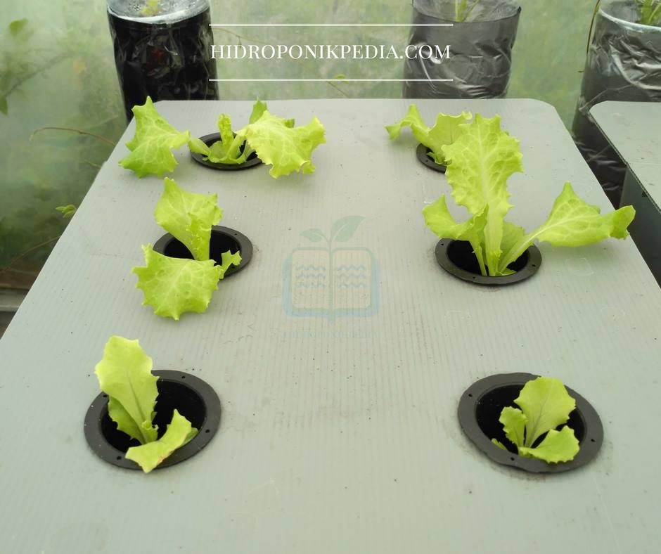 cara-menanam-selada-hidroponik-14