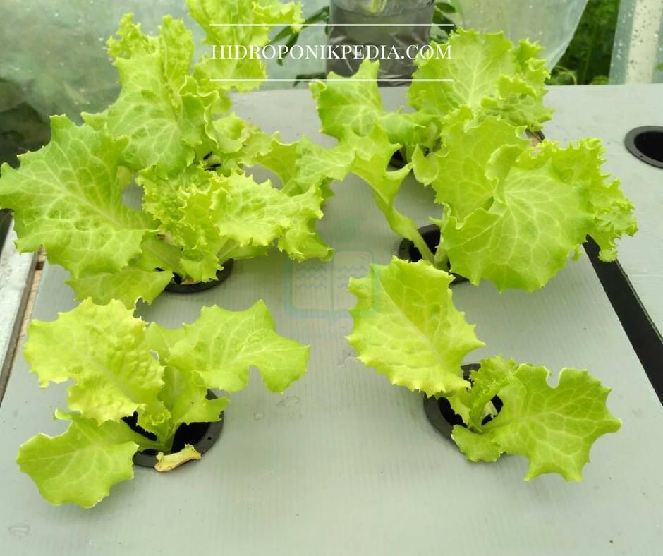 cara-menanam-selada-hidroponik-17