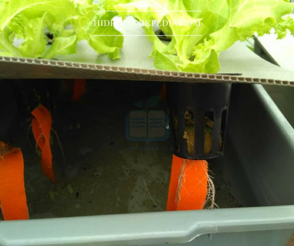 cara-menanam-selada-hidroponik-18