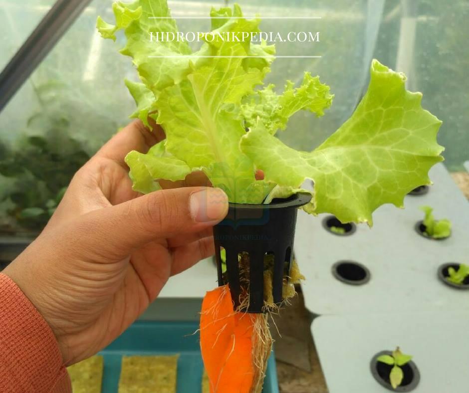cara-menanam-selada-hidroponik-19