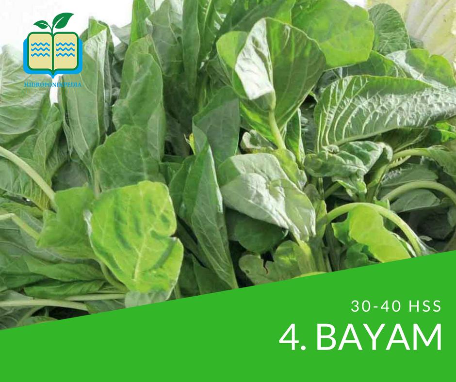 masa-panen-sayuran-hidroponik-bayam-hijau-bayam-merah