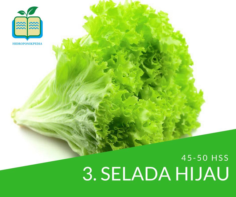 masa-panen-sayuran-hidroponik-selada-hijau