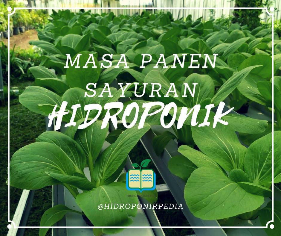 masa-panen-sayuran-hidroponik