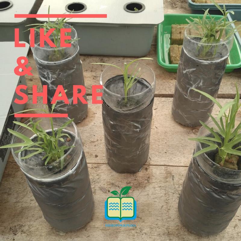 step-by-step-cara-membuat-hidroponik-wick-10