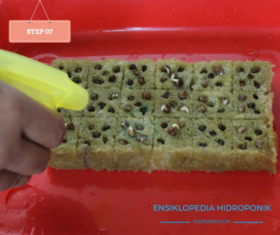 step-by-step-cara-menanam-kangkung-hidroponik-07