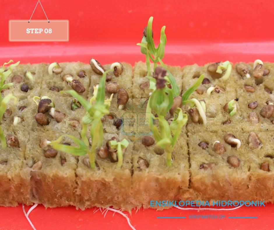 step-by-step-cara-menanam-kangkung-hidroponik-08