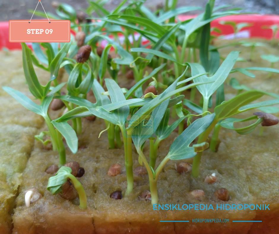 step-by-step-cara-menanam-kangkung-hidroponik-09