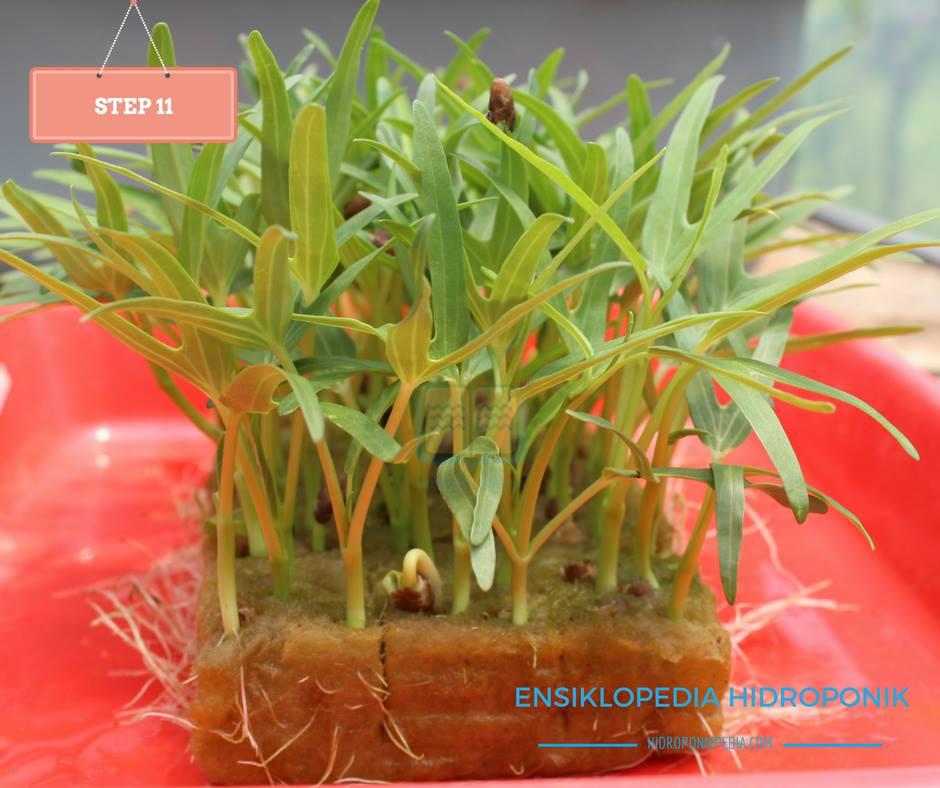 step-by-step-cara-menanam-kangkung-hidroponik-11