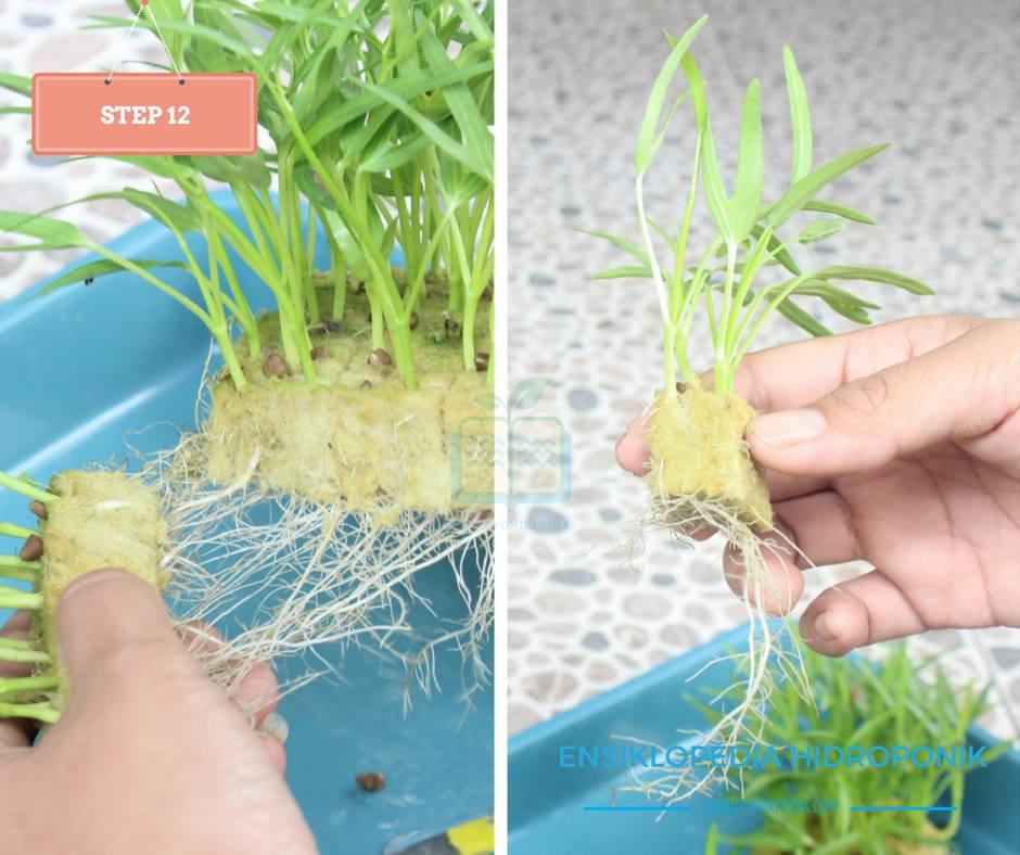 step-by-step-cara-menanam-kangkung-hidroponik-12