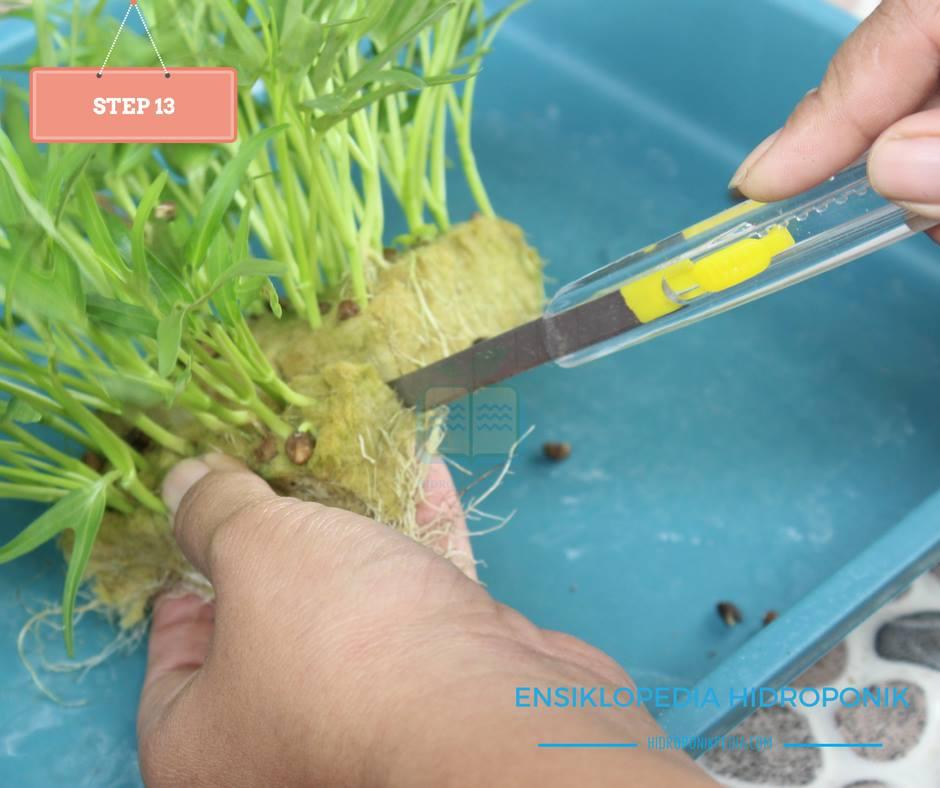 step-by-step-cara-menanam-kangkung-hidroponik-13