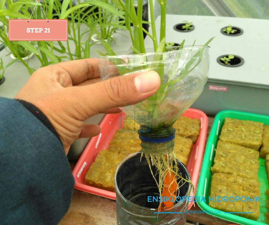 step-by-step-cara-menanam-kangkung-hidroponik-21