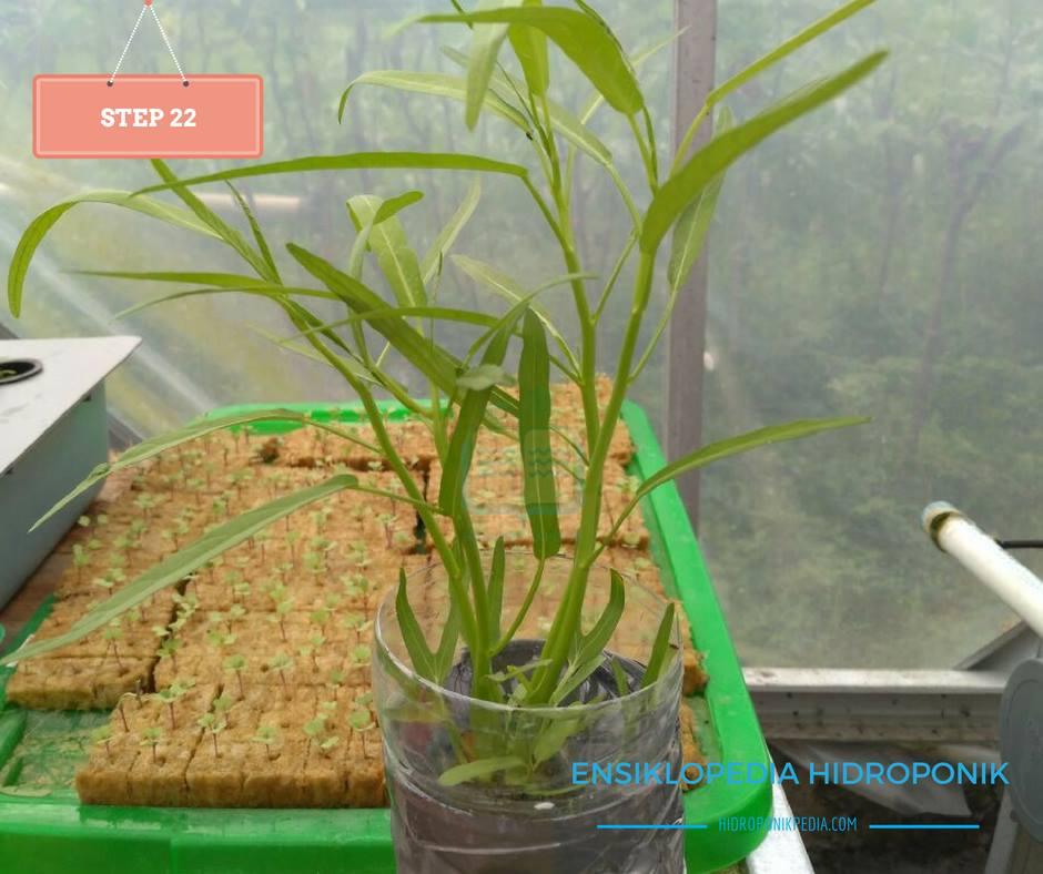 step-by-step-cara-menanam-kangkung-hidroponik-22
