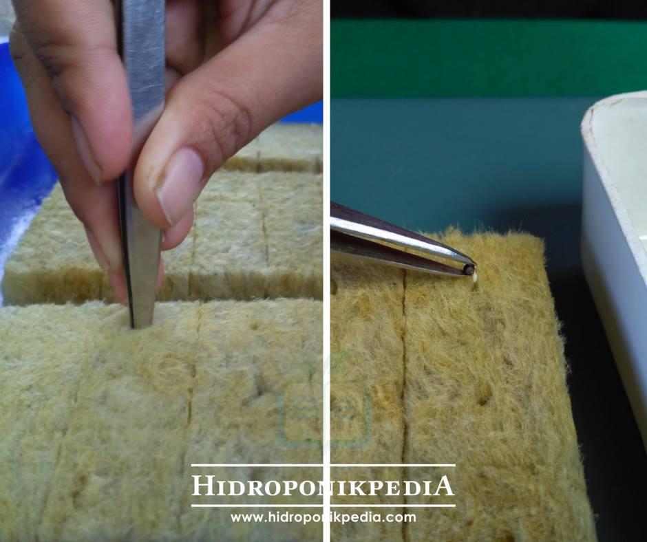 cara-menanam-pak-choy-hidroponik-04