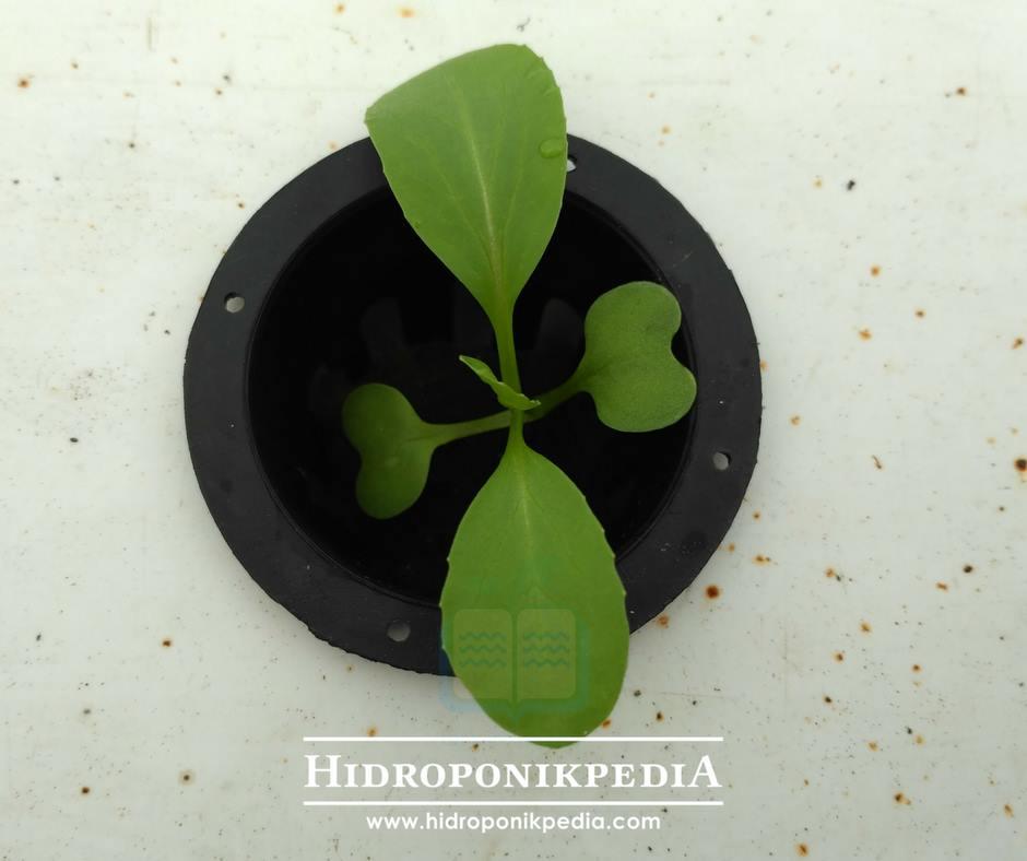 cara-menanam-pak-choy-hidroponik-10