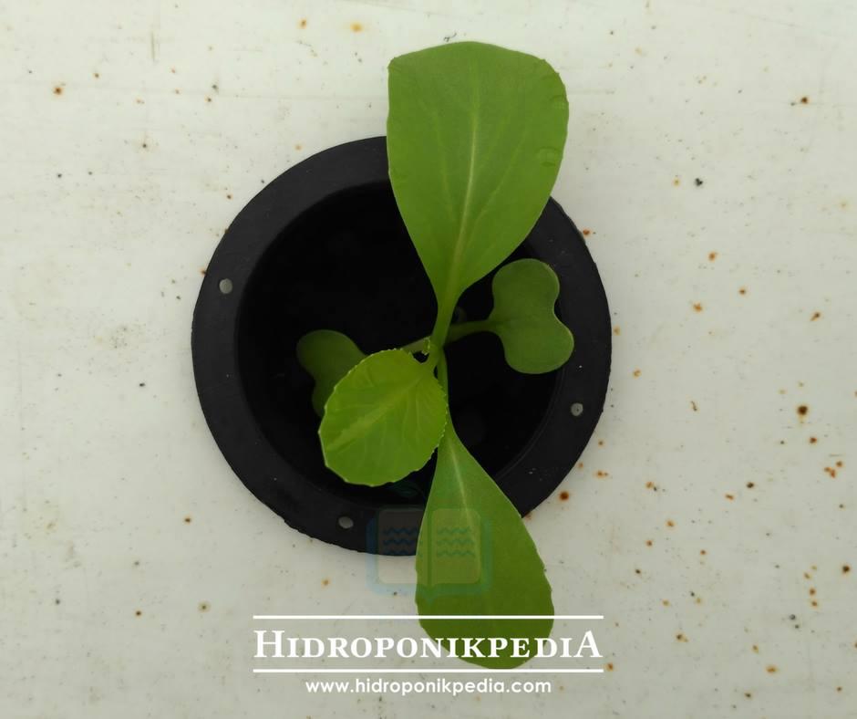 cara-menanam-pak-choy-hidroponik-11