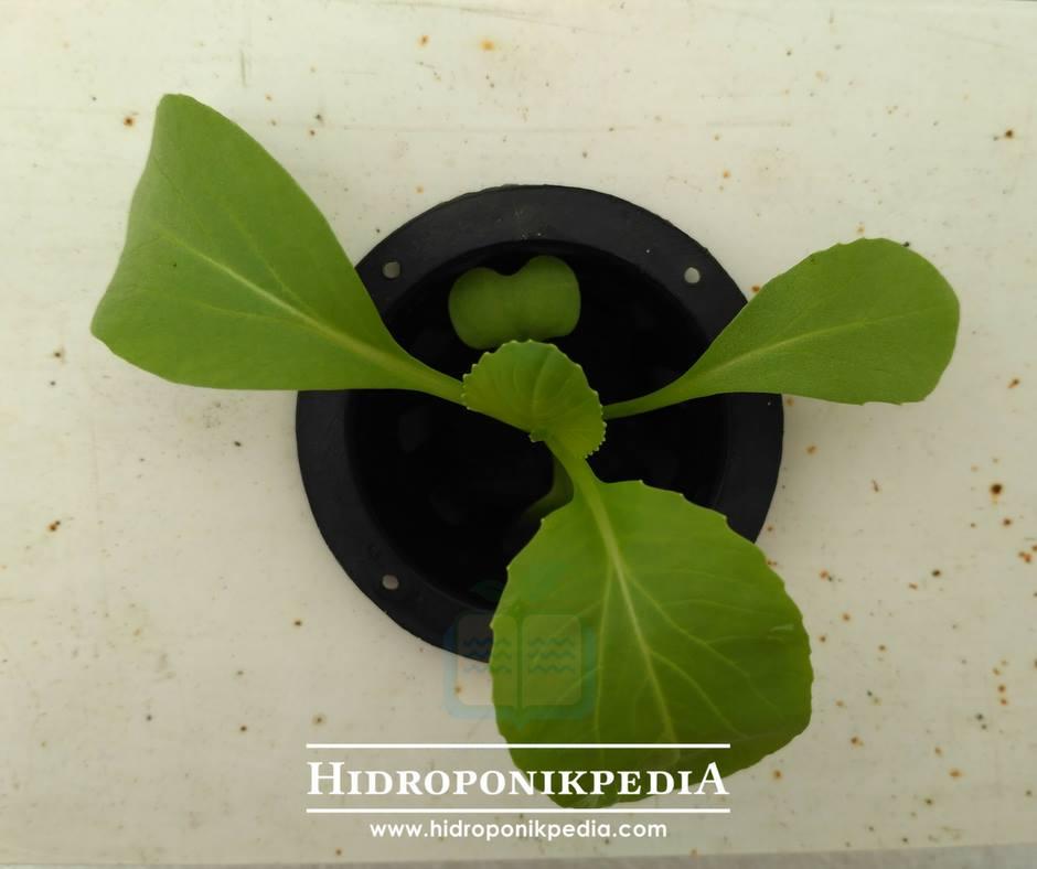 cara-menanam-pak-choy-hidroponik-13