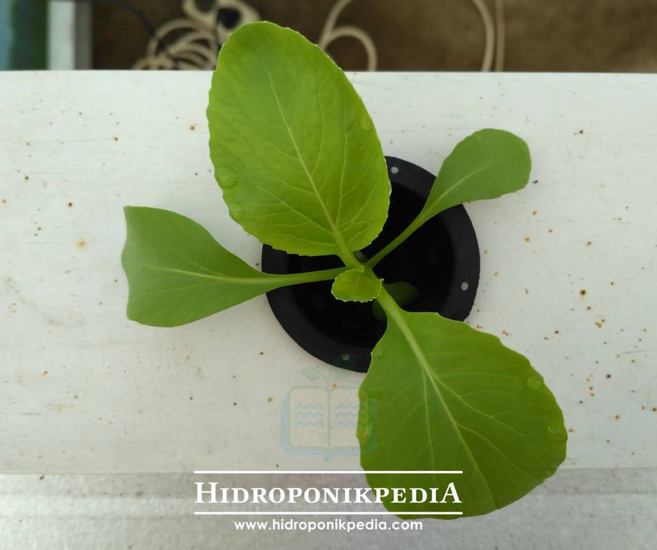 cara-menanam-pak-choy-hidroponik-15
