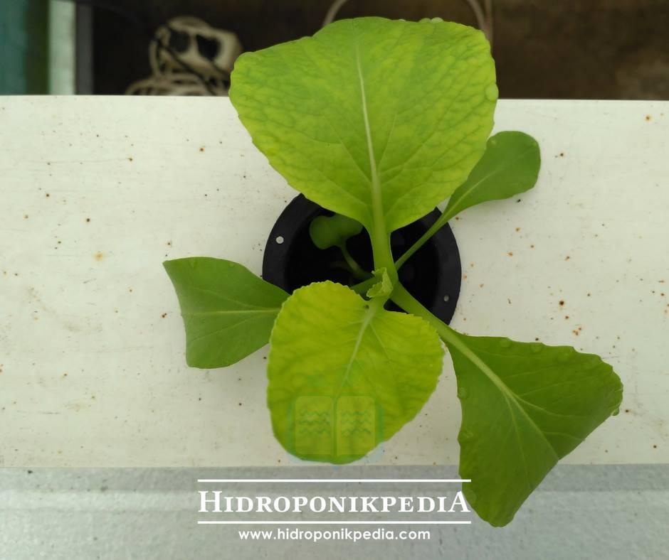 cara-menanam-pak-choy-hidroponik-17