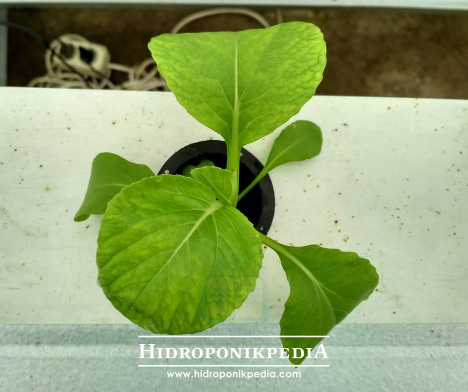 cara-menanam-pak-choy-hidroponik-18