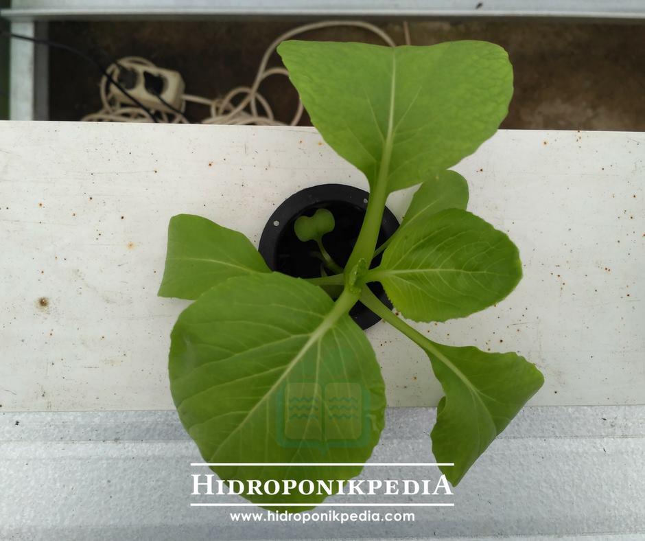 cara-menanam-pak-choy-hidroponik-19
