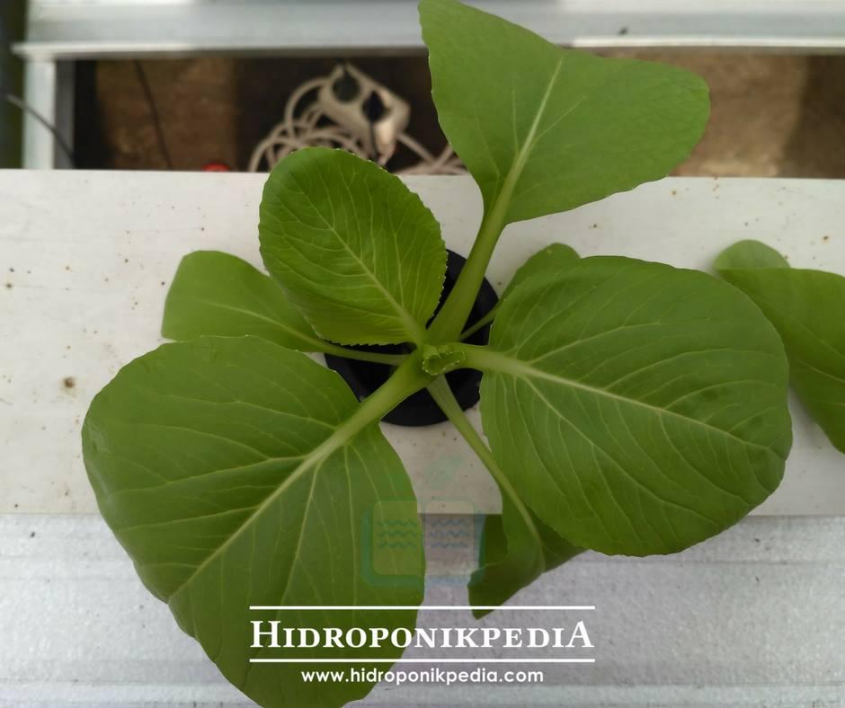 cara-menanam-pak-choy-hidroponik-20