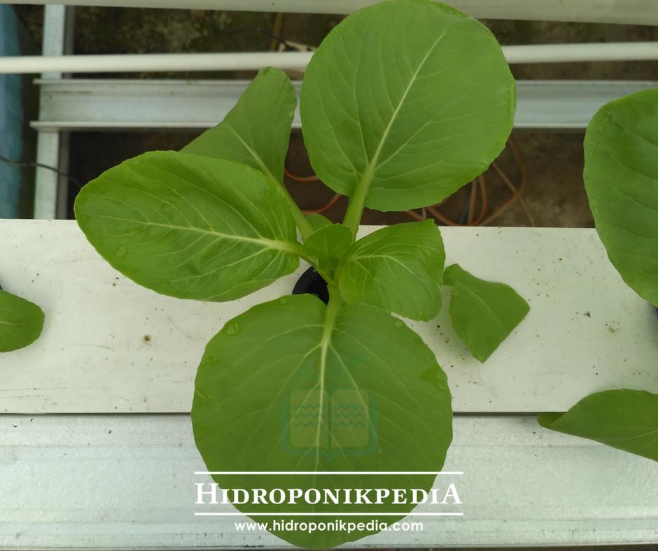 cara-menanam-pak-choy-hidroponik-22