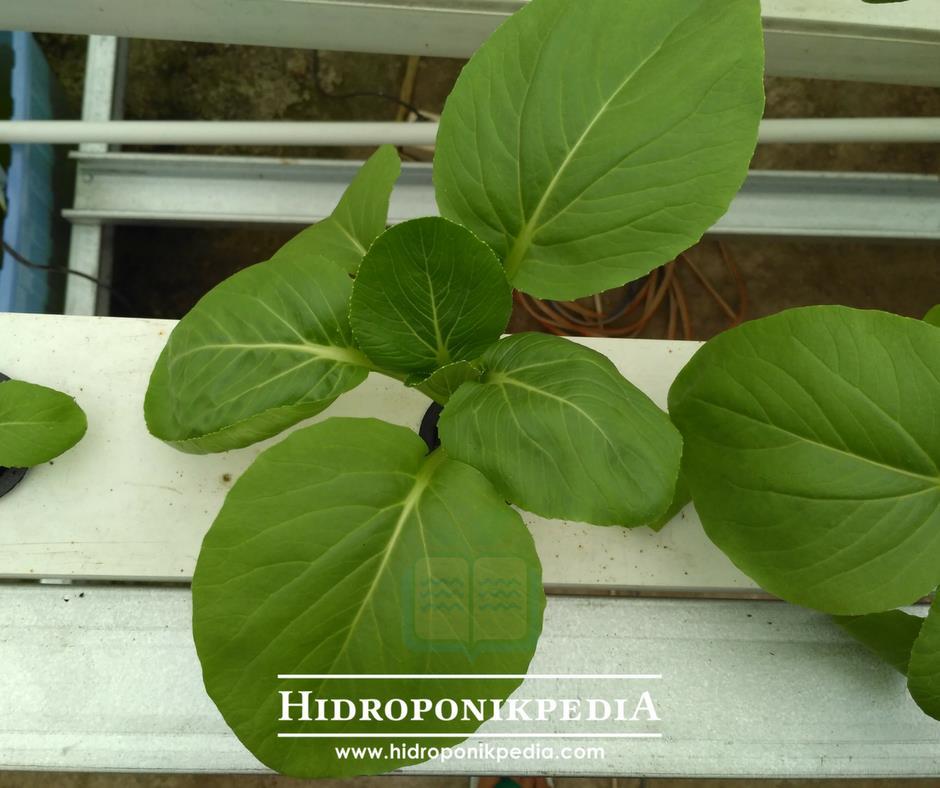 cara-menanam-pak-choy-hidroponik-23