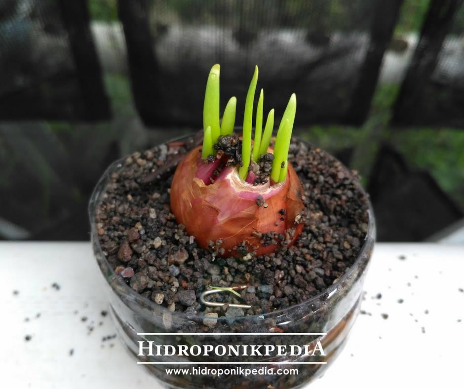 menanam bawang merah