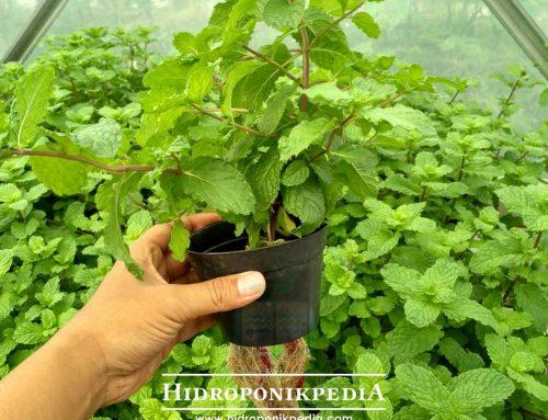 7 Langkah Stek Mint Hidroponik