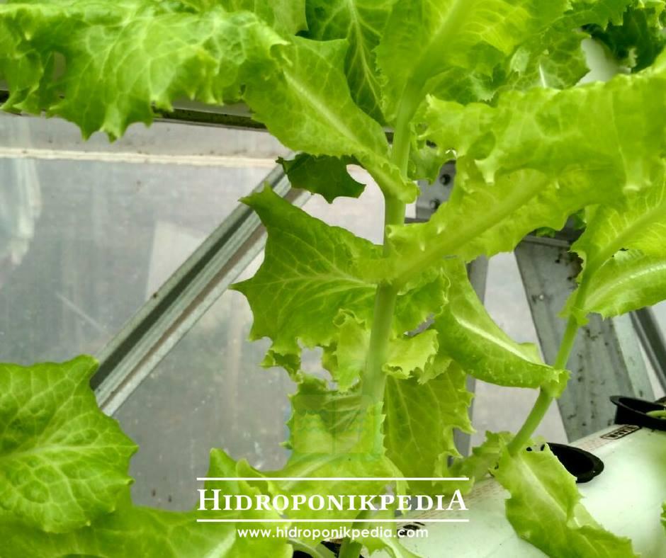 selada etiolasi atau kutilang