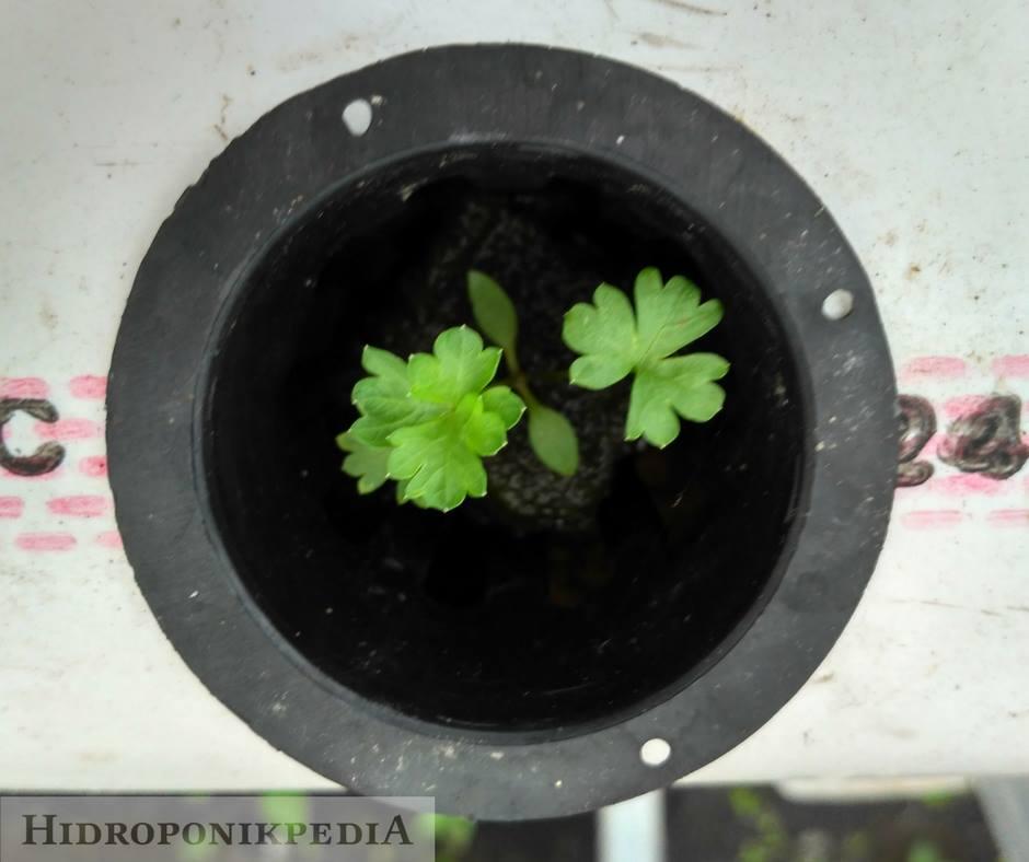 menanam seledri