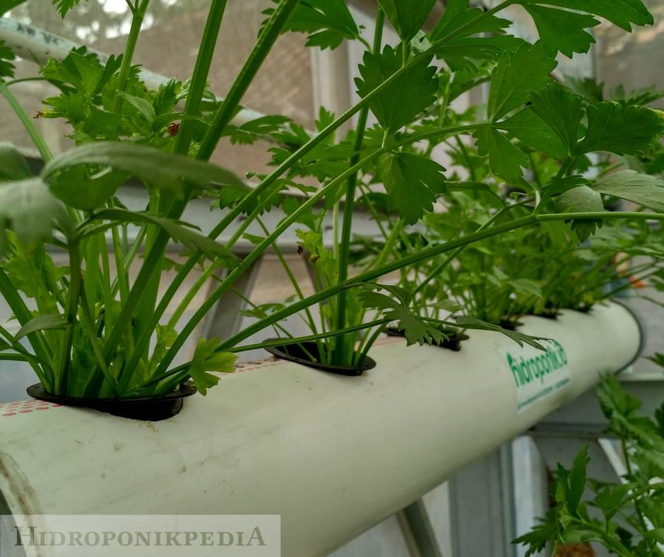 cara-menanam-seledri