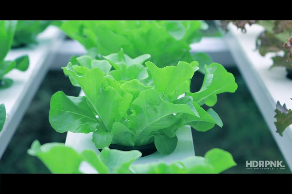 tanaman selada