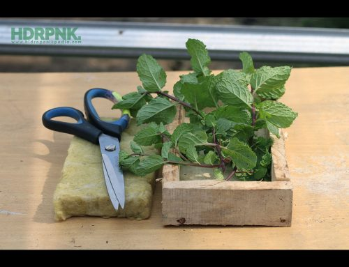 Cara Mudah Stek Mint Hidroponik