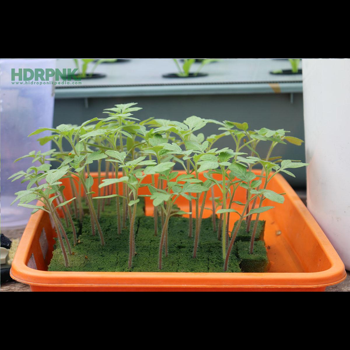 5 Langkah Menarik Menanam Tomat Hidroponik Hidroponikpedia