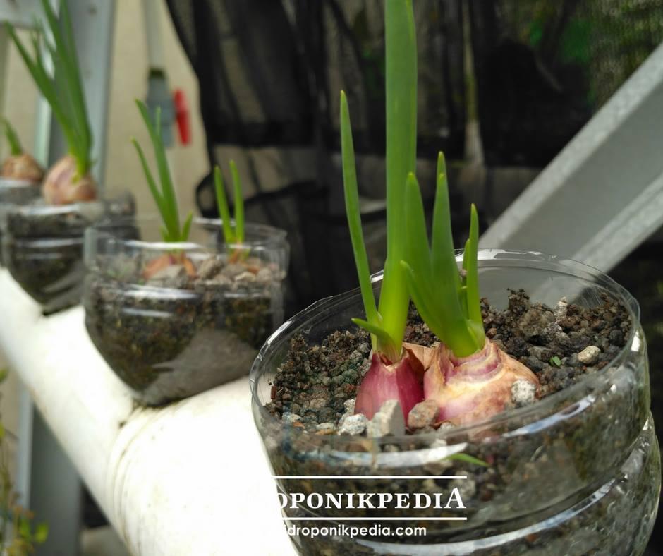 Cara Menanam Bawang Merah Hidroponik