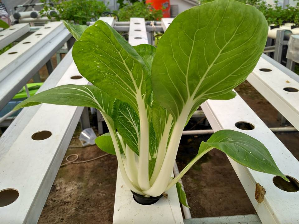 [FAQ] Masa Panen Sayuran Hidroponik dibanding Konvensional