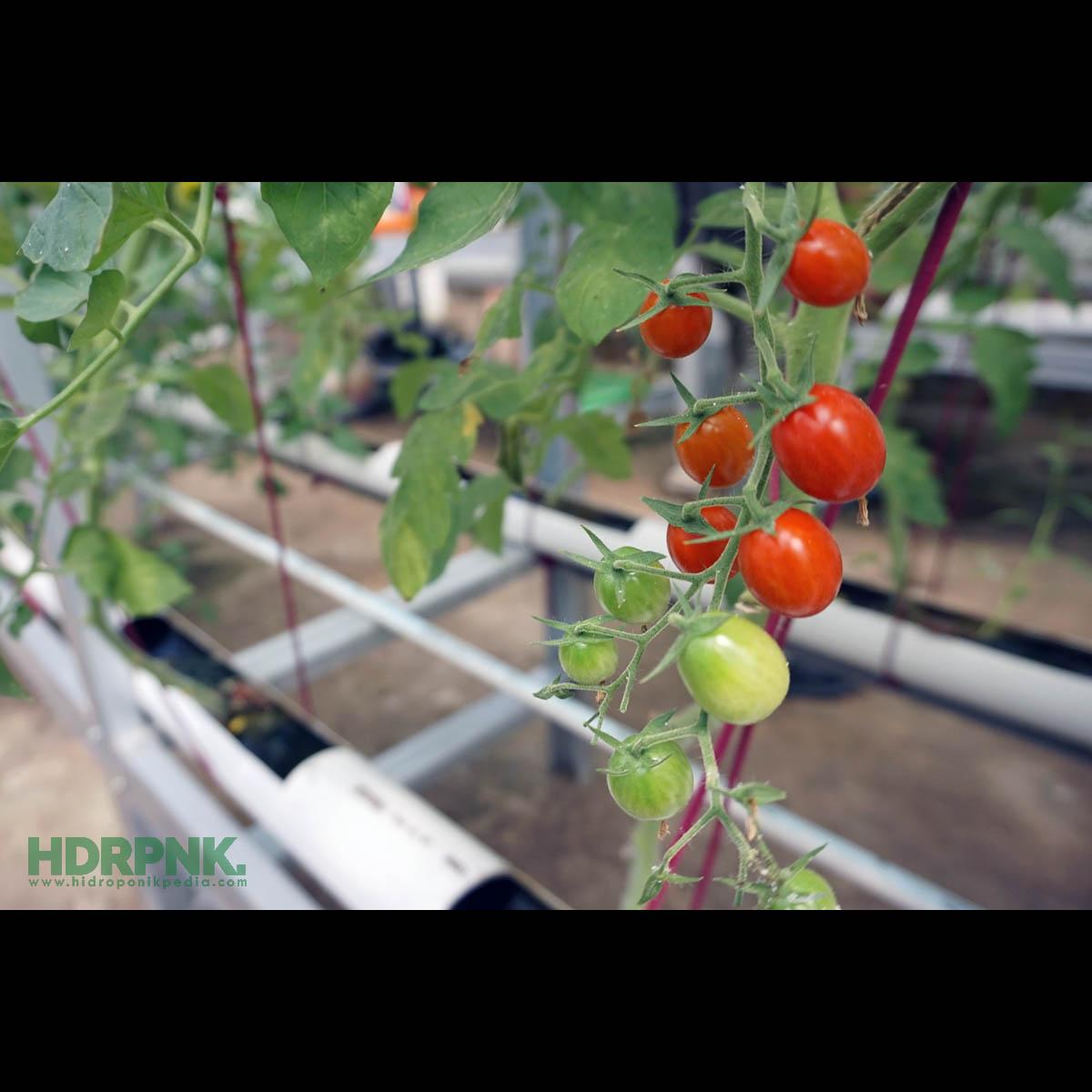 5 Langkah Menarik Menanam Tomat Hidroponik